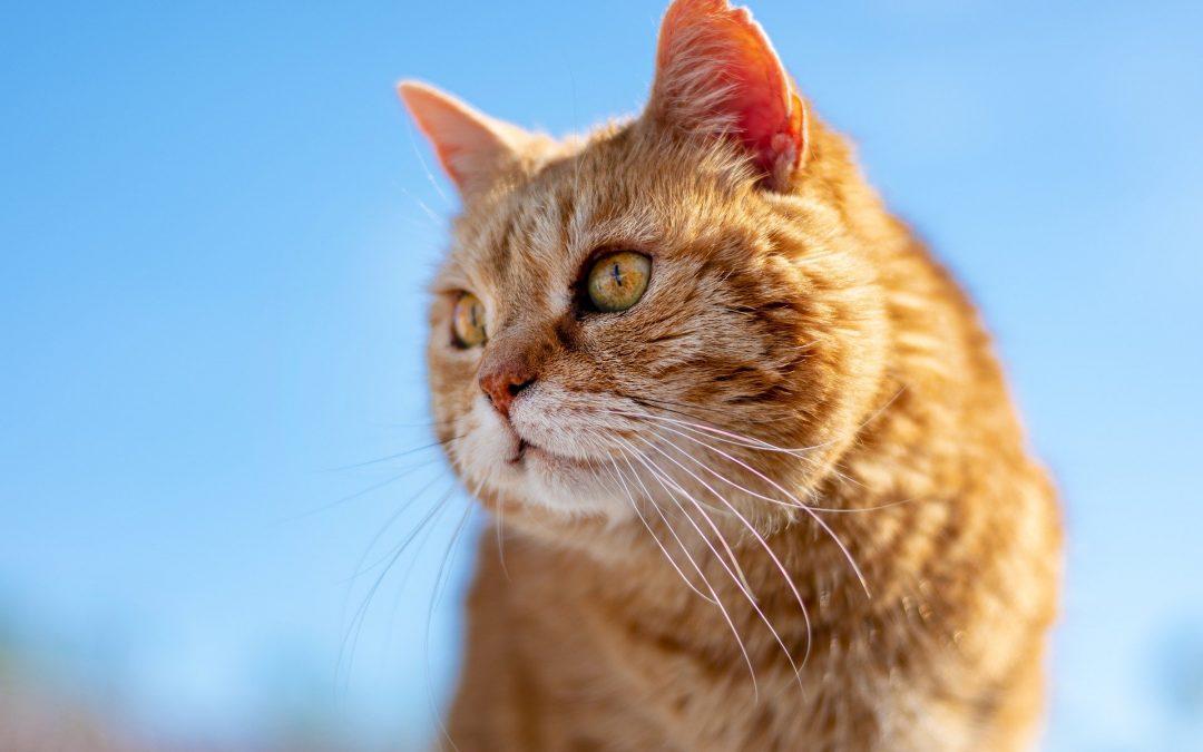 Adopter un chat adulte : quels avantages ?