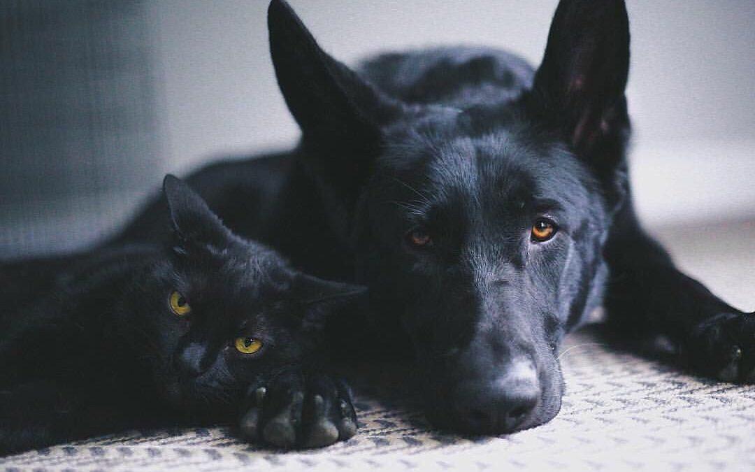 Chats et chiens noirs, victimes des superstitions ?
